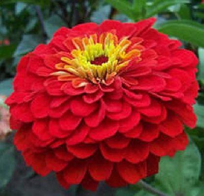 Flower - Zinnia - Cherry Queen - St. Clare Heirloom Seeds