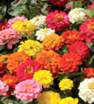 Flower - Zinnia - Dahila Mix - St. Clare Heirloom Seeds