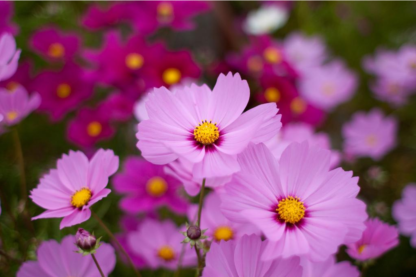 Flower - Cosmos - Sensation Mix - St. Clare Heirloom Seeds