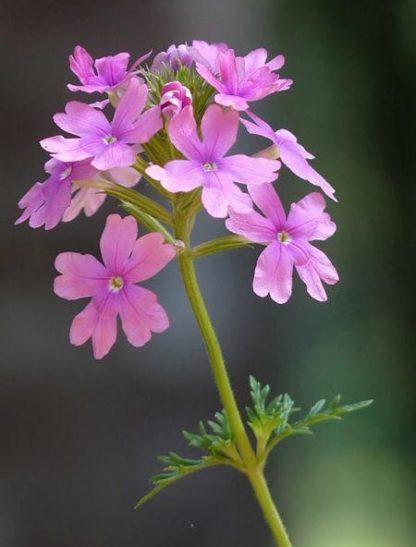Flower - Verbena - Moss Verbena - St. Clare Heirloom Seeds