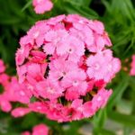 Flower - Sweet William - Pink