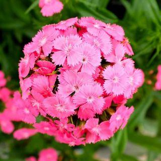 Flower - Sweet William - Pink
