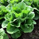Lettuce, Leaf Romaine - Paris White COS - St. Clare Heirloom Seeds