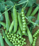Pea, Shelling, English Pea - Laxtons Progress No 9 - St. Clare Heirloom Seeds