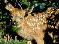 Baby Whitetail Deer - Even the littlest deer will grow up and learn how to enjoy your Heirloom / Open Pollinated Vegetable Garden. Start early to keep them out.