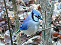 Blue Jay - This bird like to find young Heirloom / Open Pollinated Vegetable Garden Plants and Seeds in your Garden.