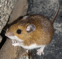 The Common Brown Mouse - Brown Mice like to eat the roots and seedlings of you Heirloom / Open Pollinated Vegetable Garden plants.