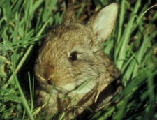 Cottontail rabbit - If you have rabbits in your Heirloom / Open Pollinated Vegetable Garden, you have a lot of rabbits!