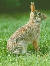 Cottontail Rabbit - Rabbits can destroy a Heirloom / Open Pollinated Vegetable Garden in one day!