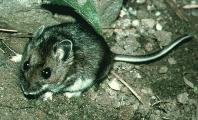 Deer Mouse - Deer Mice Like to eat the roots and seedlings in your Heirloom / Open Pollinated Vegetable Garden.