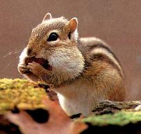 Eastern Chipmunk - Corn and sunflower seeds are the chipmunks favorite Heirloom / Open Pollinated Vegetable Garden recipe.