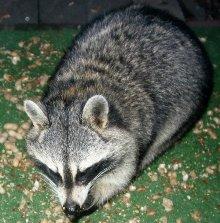 Raccoon - Raccoons love Heirloom / Open Pollinated Sweet Corn, make sure you protect it carefully.