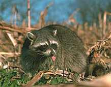 Raccoon - Raccoons love your extra early Heirloom / Open Pollinated Sweet Corn, all sweet corn for that matter!