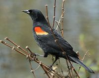 Redwing Blackbird - The Redwing Blackbird loves to eat seeds and small plants out of your Heirloom / Open Pollinated Vegetable Garden.