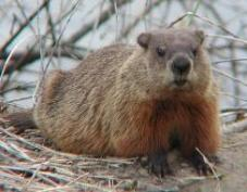 Woodchucks - woodchucks will eat anything that is green in your Heirloom / Open Pollinated Vegetable Garden!